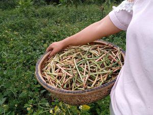 Thu hoạch đậu canh tác thuận tự nhiên - Thương Nhà Quê
